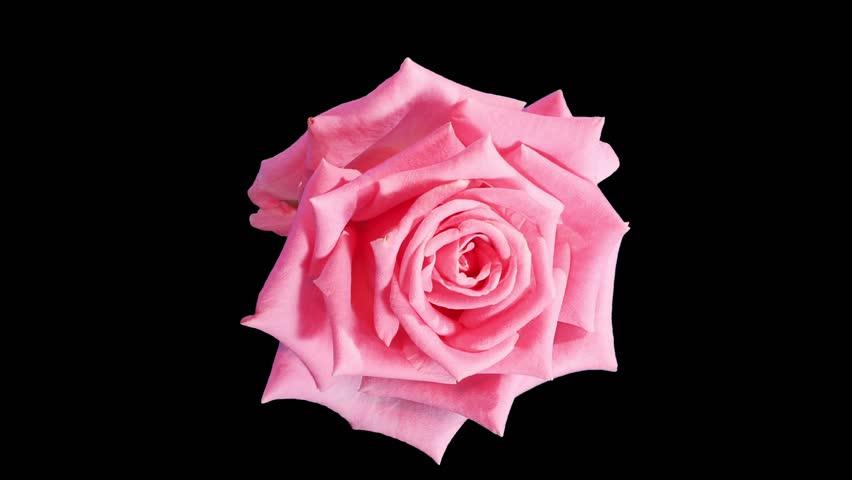 Blooming pink roses flower buds ALPHA matte, FULL HD. (Rose Aqua), timelapse