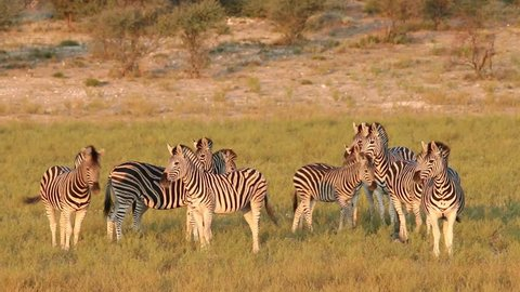 Alert Plains (Burchells) Zebras (Equus burchelli) in natural habitat, South Africa
