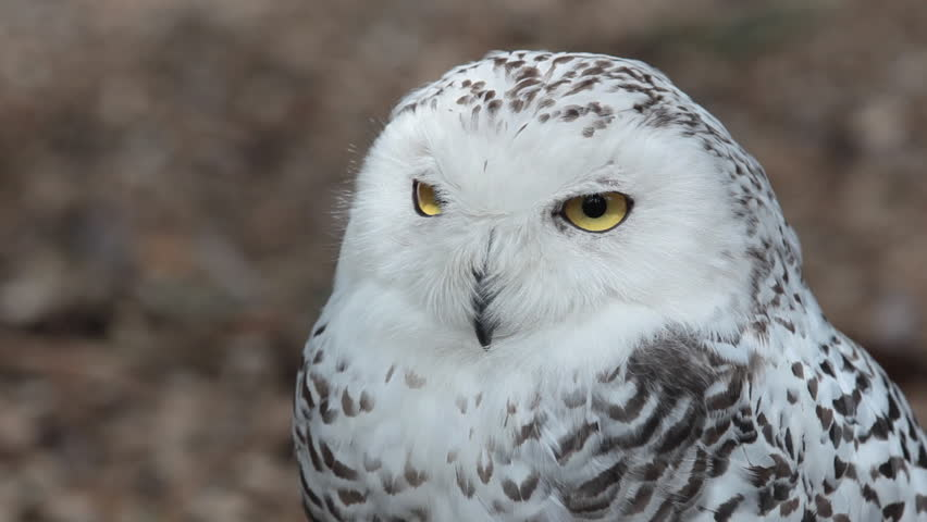 HD footage of a beautiful Snowy owl (Bubo scandiacus)