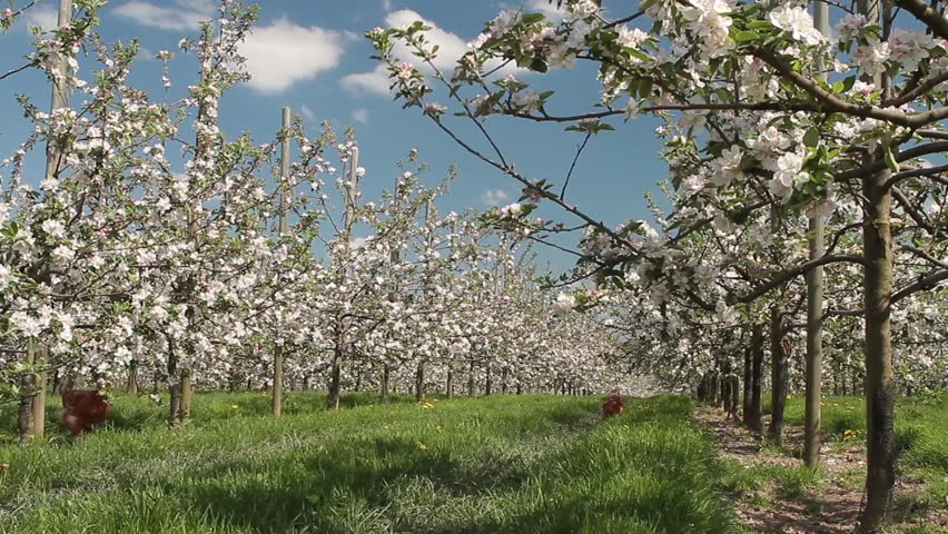 Apple orchard with chicken in spring