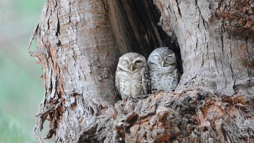 Couple of Spotted owlet