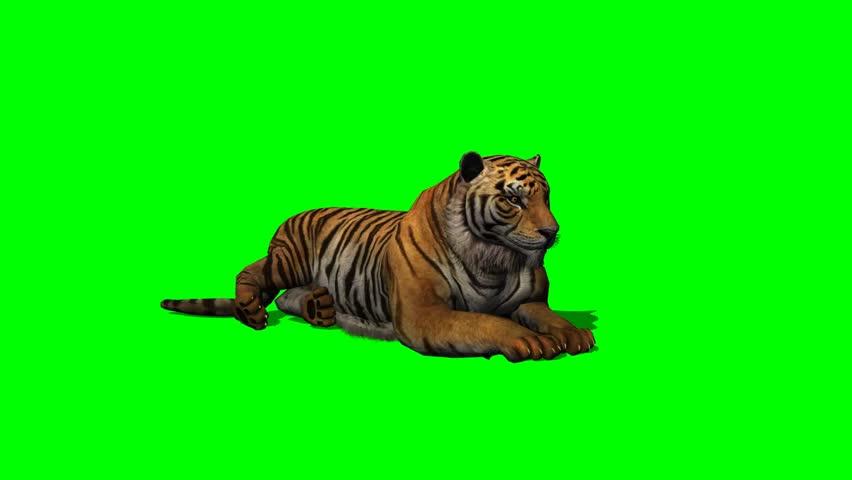 Tiger idle on green screen  | Shutterstock HD Video #6620105