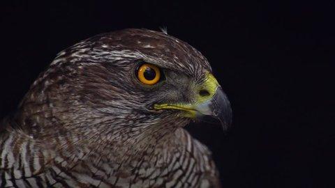 Northern goshawk closeup