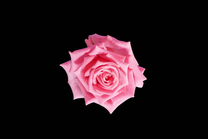 4K. Blooming pink roses flower buds ALPHA matte, Ultra HD. (Rose Aqua) (Time Lapse), 4096x2730.