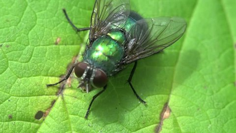 Housefly fly macro insect hairs in amazing detail, abdomen, foresight, musca