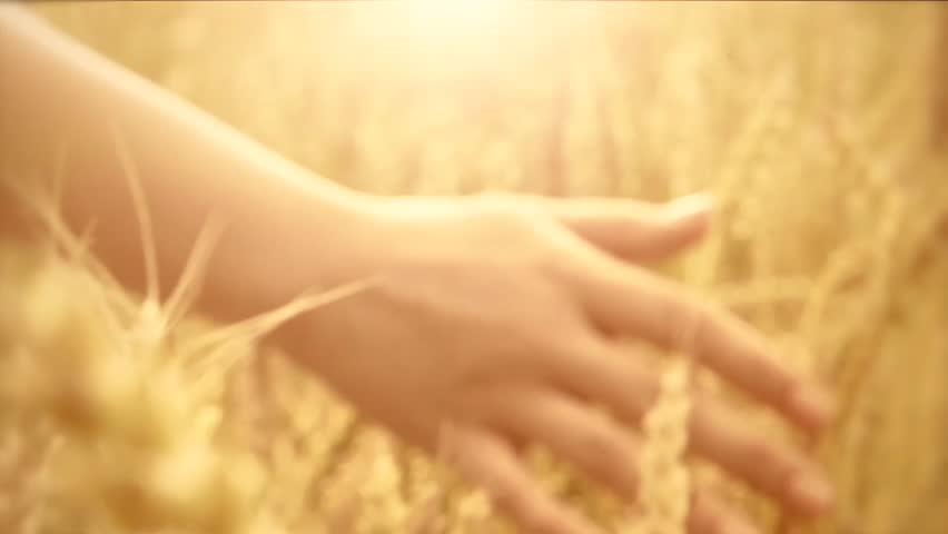 Woman's hand running through wheat field. Girl's hand touching wheat ears closeup.Harvest concept. Harvesting. Slow motion video footage 240 fps. Full HD 1080p | Shutterstock HD Video #6741103
