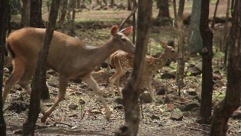 Indian Deer/ Buck/ Sambar running in a forest