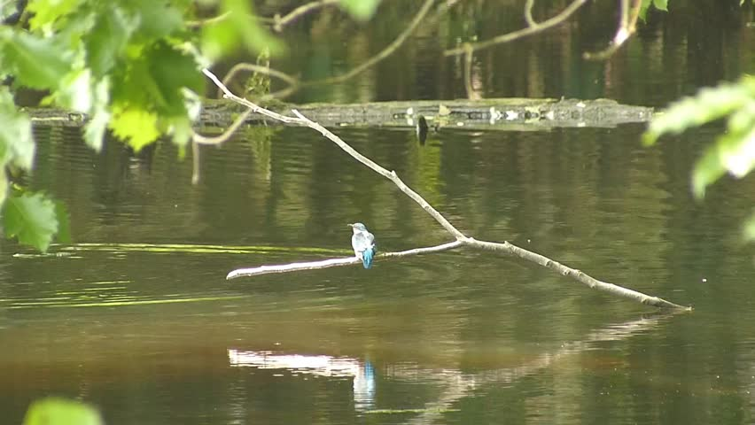 Kingfisher waterside summer. _6 / Shooting date; July 6,2014 Location;. Hokkaido,Japan /  Scene of family and chick Kingfisher began to fly a little.