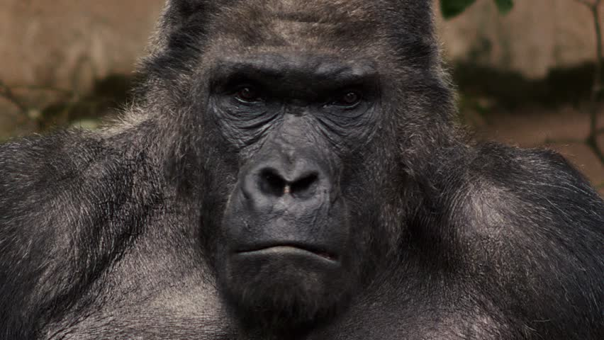 Facial Gesture And Face Caring Of A Gorilla Male, Severe ...