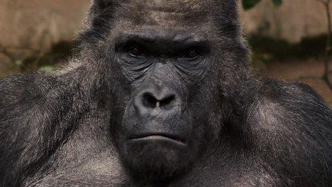 Ape, Gorilla, Monkey in slow motion