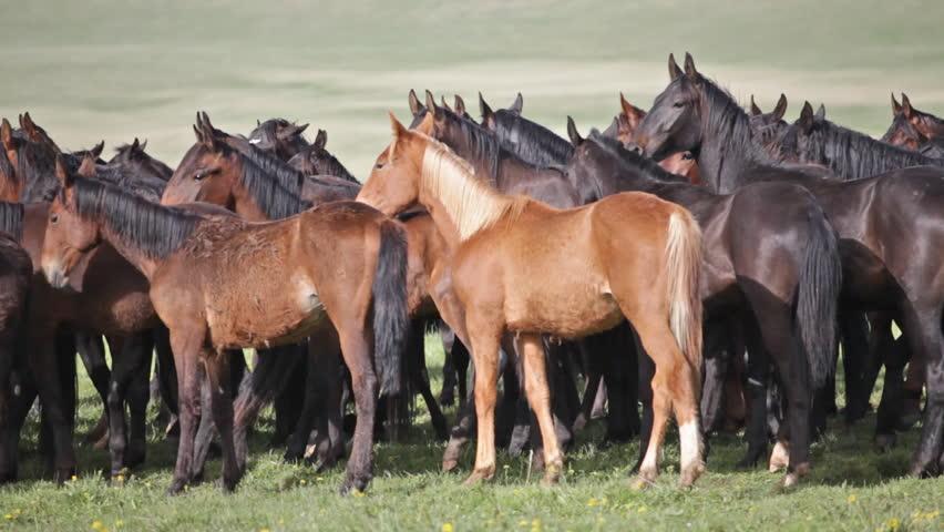Herd of horses on a summer pasture. Caucasus, Karachay-Cherkessia | Shutterstock HD Video #6774415