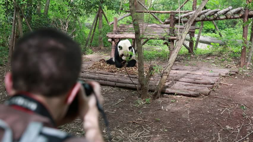 A photographer at the Giant Panda Breeding Research Center in Chengdu taking pictures of Panda bears | Shutterstock HD Video #6794485