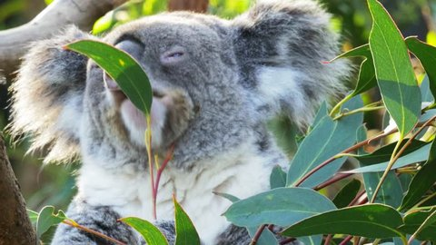 close up of a koala chewing a eucalyptus leaf