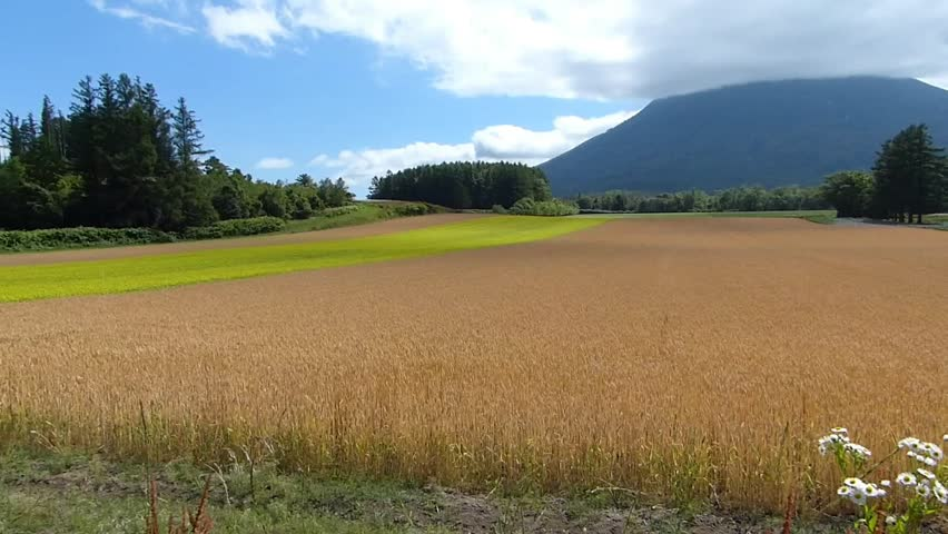 Line yellow rape fields and wheat fields._2