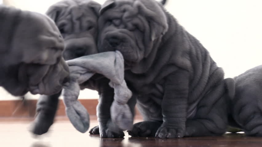 Shar Pei dogs with a toy.