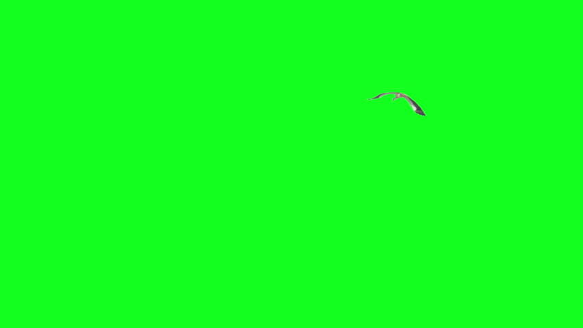 A big stork flying away on green screen. Ready to be keyed. #6903175
