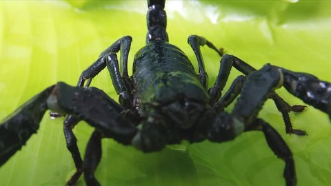 Big black scorpion close up HD video. Toxic animal in Asian jungle forest