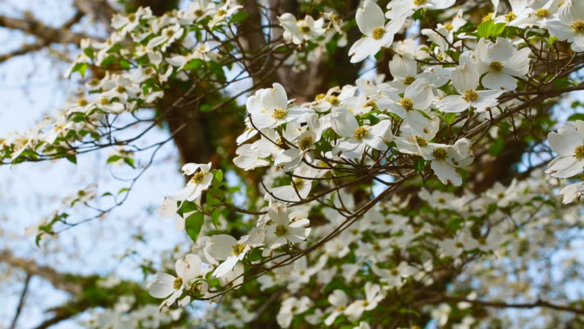 White Dogwood Tree In Spring Stock Footage Video 100 Royalty