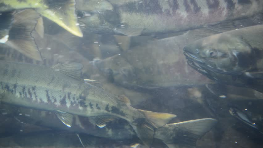 School of Migrating Pacific Salmon Spawning, HD-Video | Shutterstock HD Video #6978967