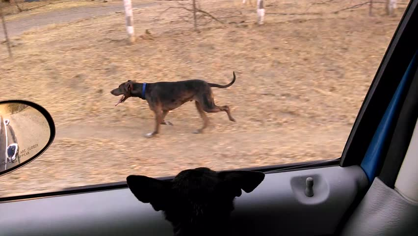 A Catahoula Leopard Dog and Stock Footage Video (100% Royalty-free) 7028425  | Shutterstock