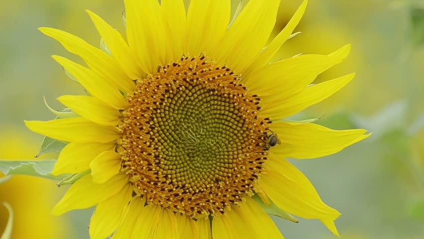 Sunflower blown by the wind | Shutterstock HD Video #7072315