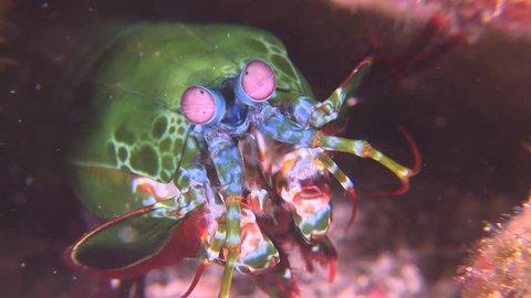 Close up of Peacock Mantis Shrimp