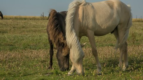 Two Horses are feeding on a green field in the flat Danish countryside around midday. In front you have two horses grazing in the field. The sujet is filmed with natural lighting in high quality.