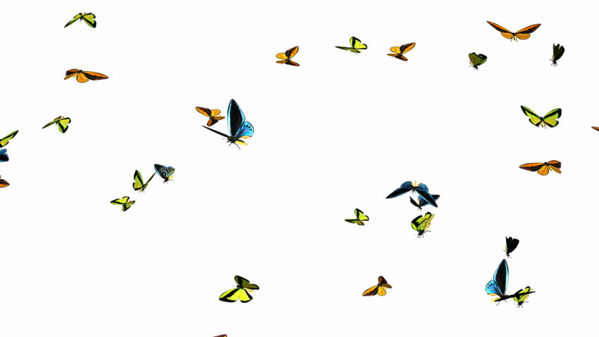 Looping Butterflies Slow Swarm Animation 1. With Alpha Mask, isolated on white
