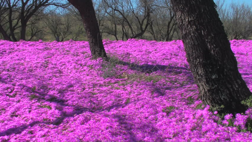 Dazzling Neon Hot Pink Purple Flowers Stock Footage Video 100