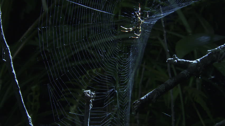 St Andrew's Cross Spider shaking its web near a Portia Spider