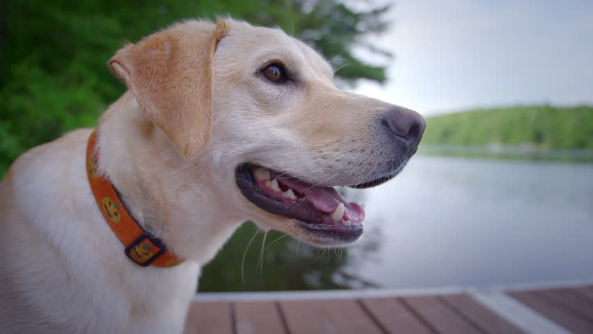 Yellow lab dog sitting obediently on dock near water