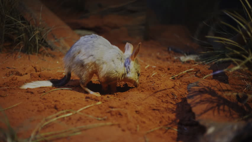 a greater bilby searches for food