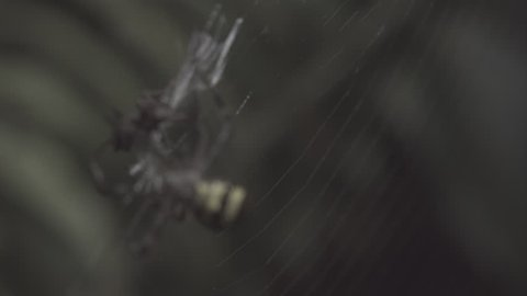 St Andrew's Cross Spider and Portia Spider fighting on a web in slow motion