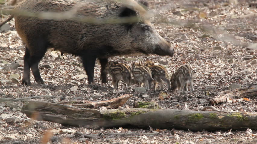 young boars and their mother