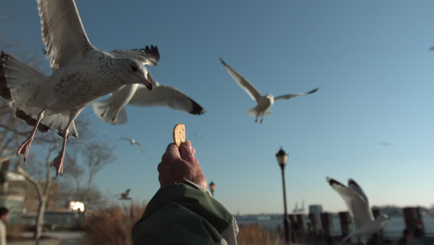 Seagull grabs cracker from outstretched hand in the park. slow motion. pov.   Shutterstock HD Video #7385365