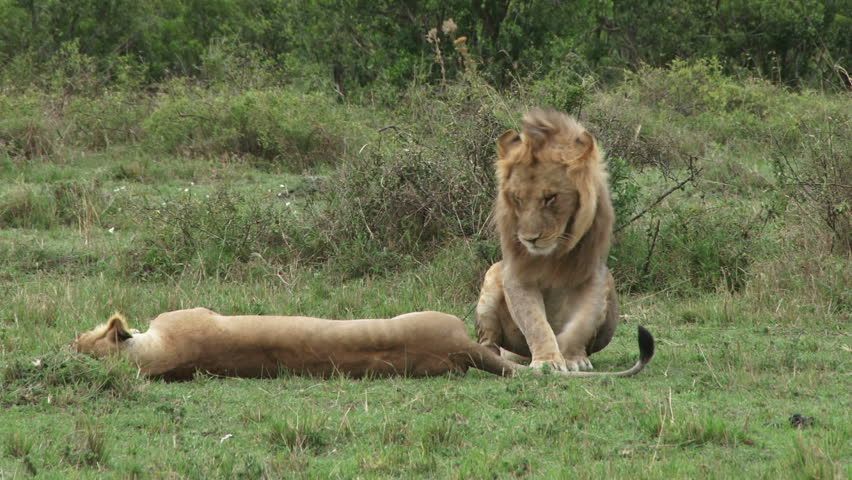 A close up of lions mating.