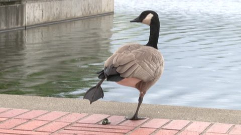 Funny Canadian goose by waterside lifts one leg after dropping a surprise.