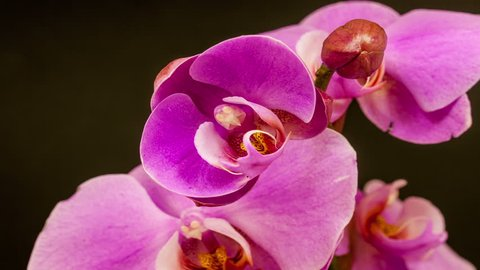 4k 30fps macro time lapse video of a purple orchid flower growing and blossoming on a dark background/Orchid flower blooming macro 4k timelapse