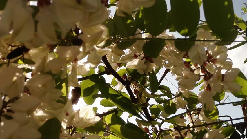 Chafer beetle in blooming acacia, wind and the sun through blooming flowers white acacia shines in the sun, the wind catching fragrant bunches of white acacia | Shutterstock HD Video #7646215