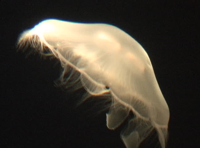 Moon Jelly Aurelia aurita, NTSC