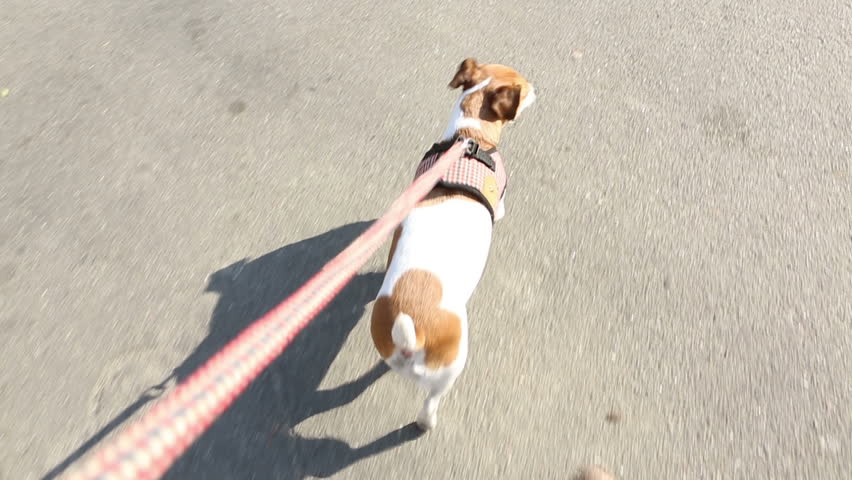 Sweet dog is on a leash. View from the master's hand. Video footage