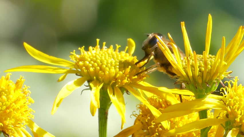 Hoverfly (Eristalis tenax) nectaring/pollinating at Mountain Arnica (Arnica montana)