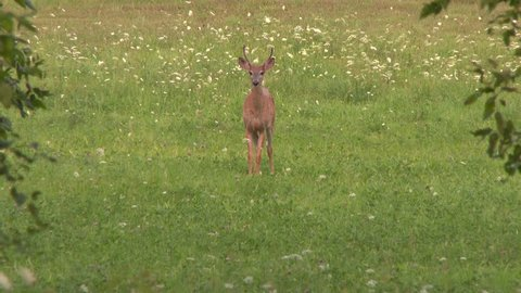 4K UHD 60fps - Spooked off deer jumping and running away in field with flowers