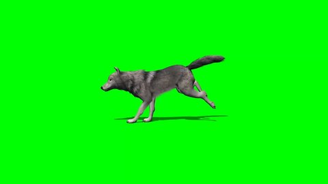 wolf runs - with and without shadow - green screen