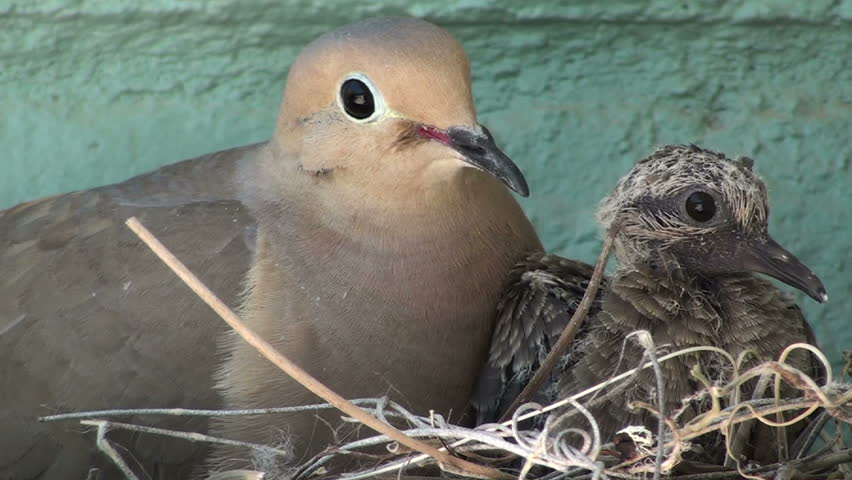Dove mother and baby nest side by side. 1920x1080