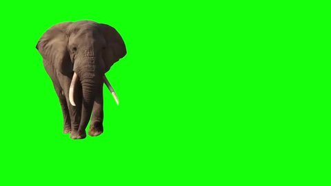 African Elephant, Close Up. Green screen. Big elephant goes to the watering