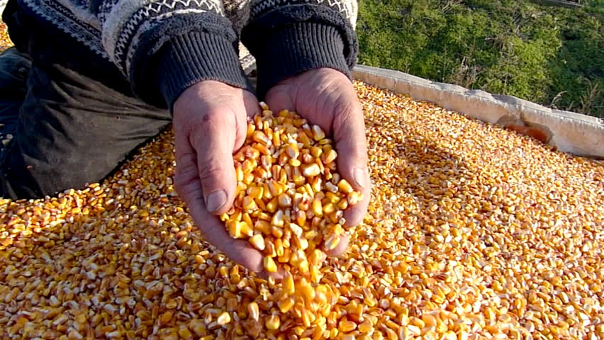 Corn grains in a hand - good harvest, slow motion | Shutterstock HD Video #7959463