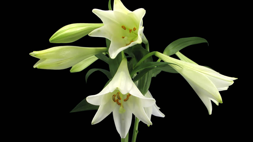 Cats &amp- Easter Lilies: A Deady Combination