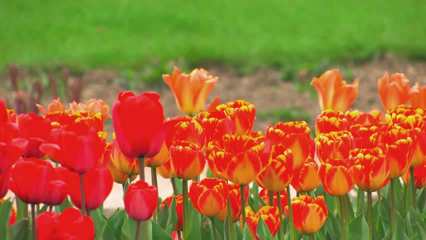 HD Flower Bed of swaying red and yellow tulips on green grass background, closeup, Canon XH A1, FullHD video, 1080p, 25fps, progressive scan   - HD stock video clip
