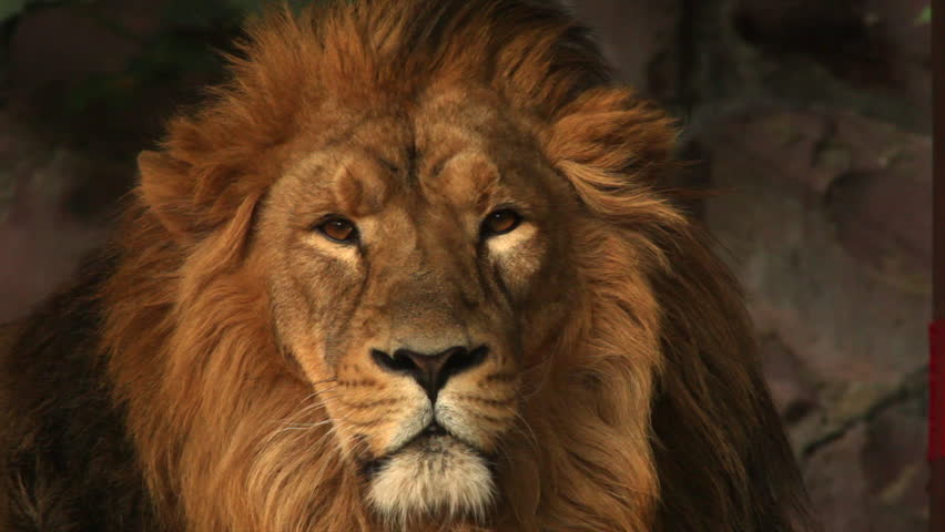 8k Animal Wallpaper Download: Golden Face Of An Asian Lion On The Rocky Background. King